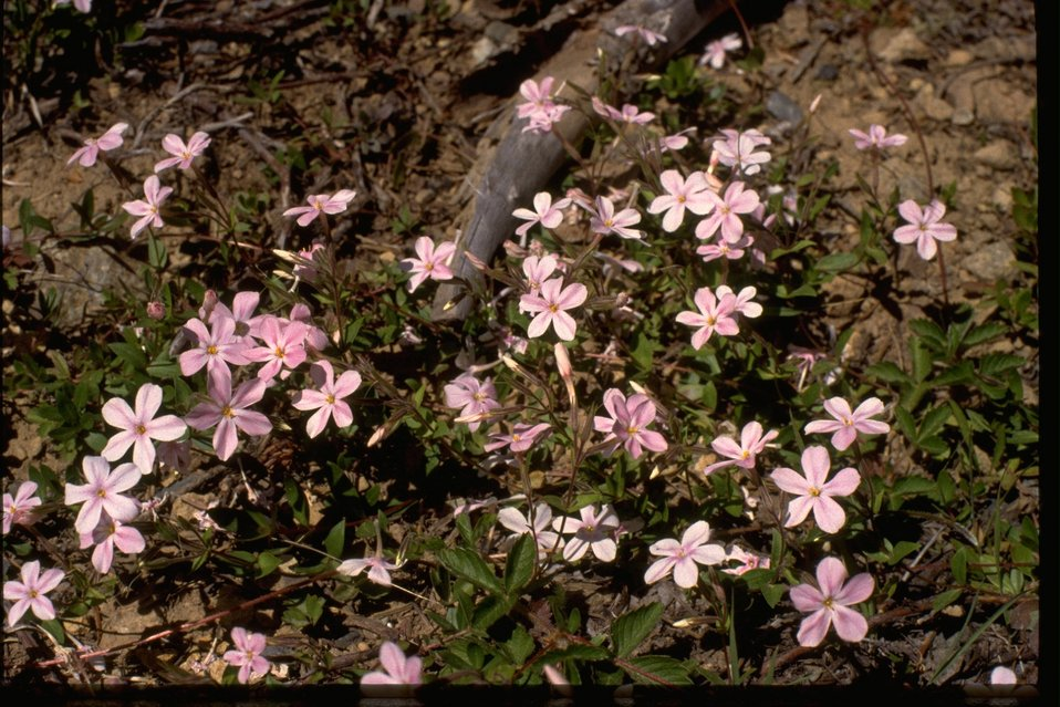 Flower: Spreading phlox.