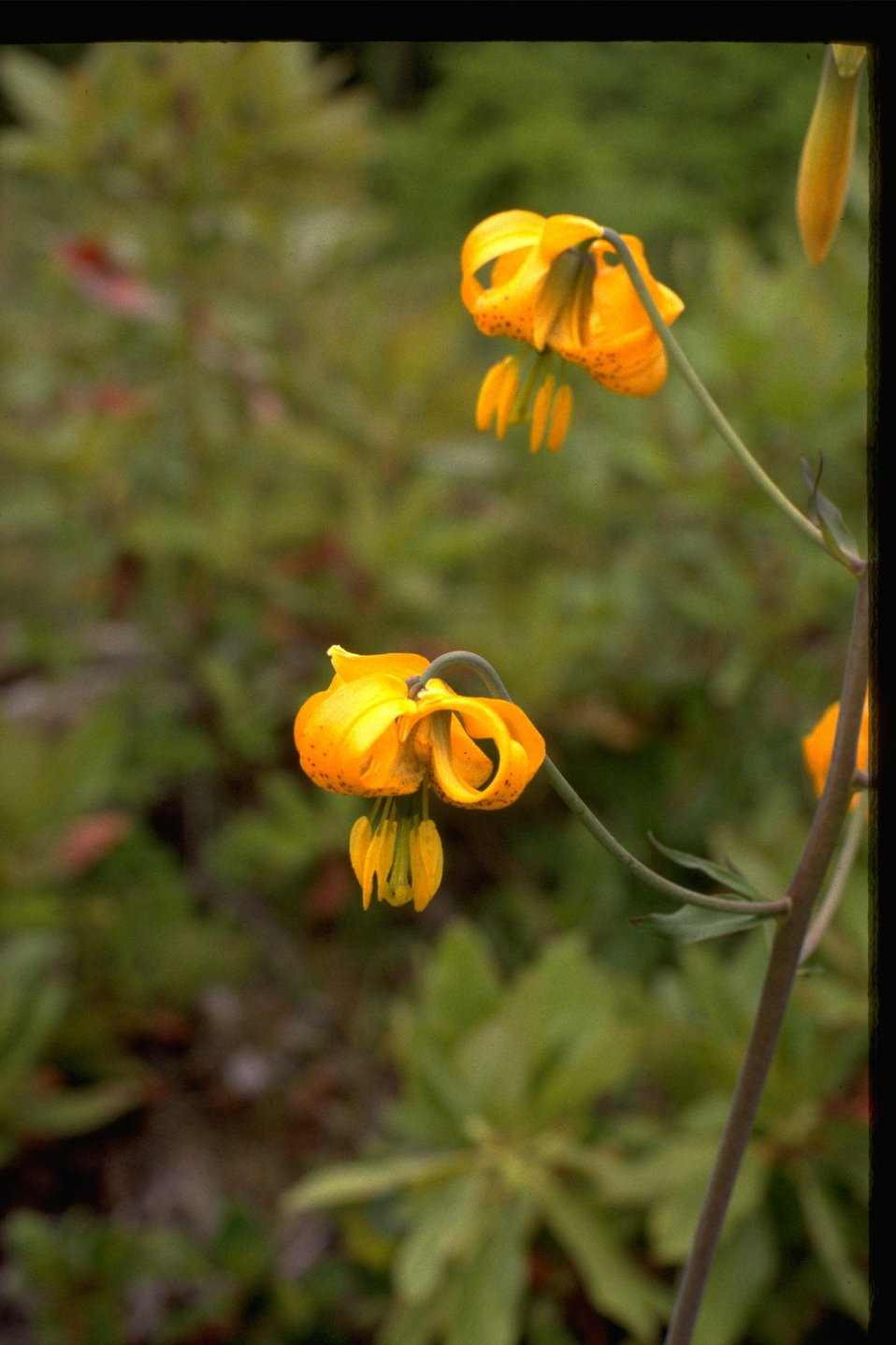 The Tiger Lily, or the Lilium tigrinum, of the Liliaceae family.