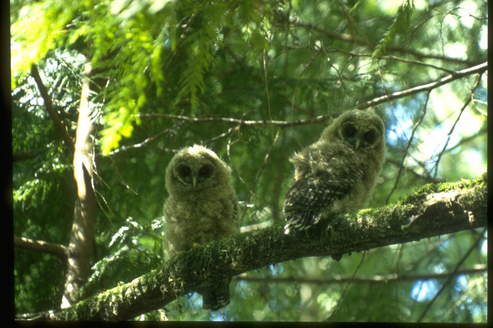 Two Northern Spotted Owl chicks on a branch.