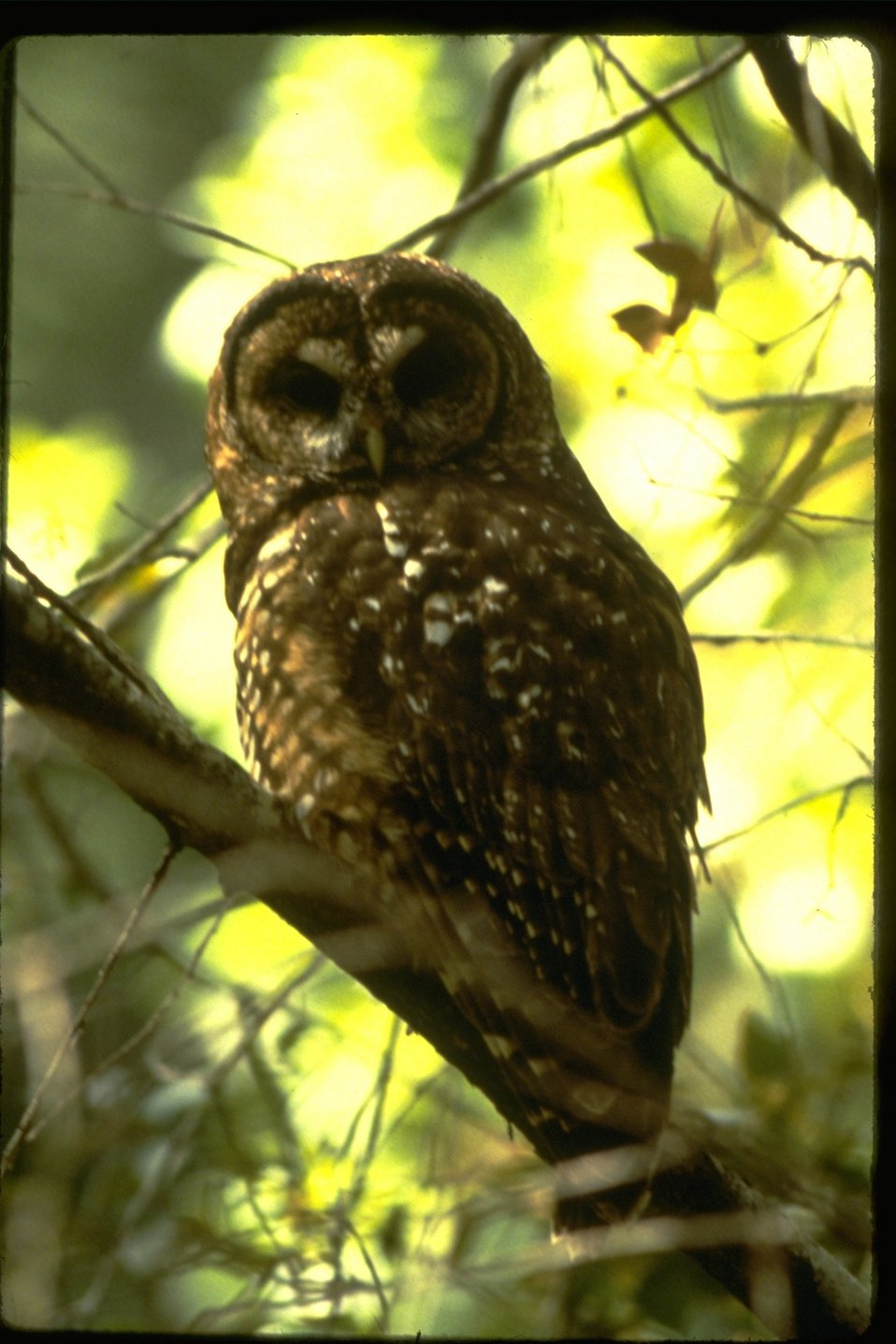 Northern Spotted Owl perched on branch.