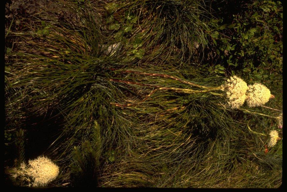 Plant:  Bear Grass.