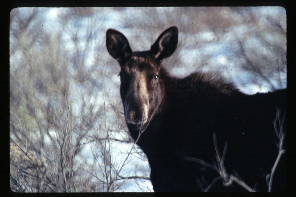 Moose  Wildlife  USRD  Upper Snake River District