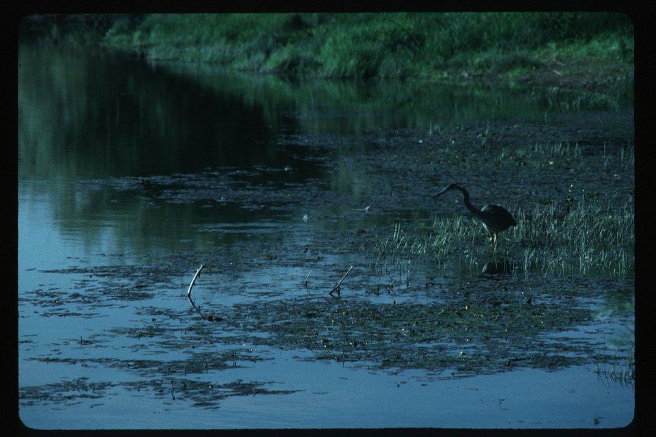 Crane in water  Wildlife  USRD  Upper Snake River District