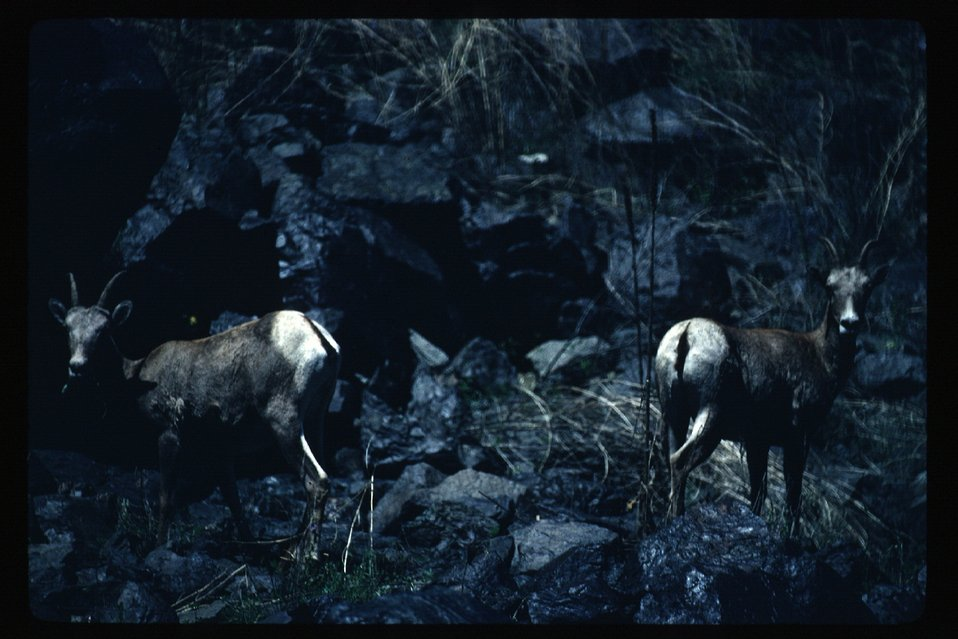 Bighorn on Snake River  Wildlife  USRD  Upper Snake River District
