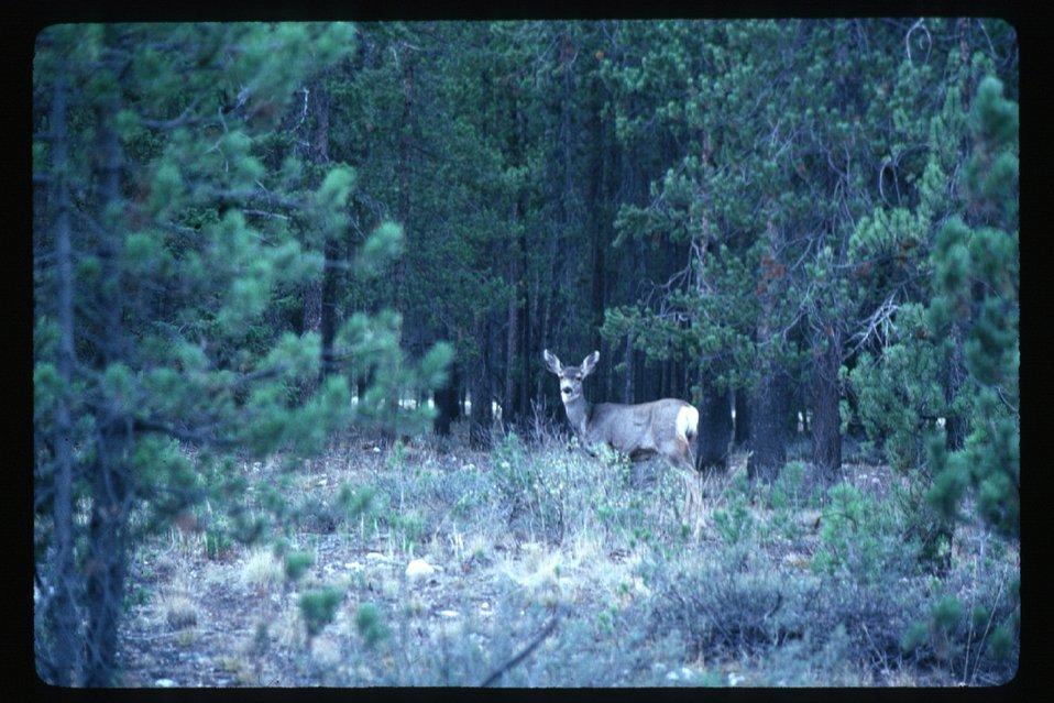 Deer  Wildlife  USRD  Upper Snake River District