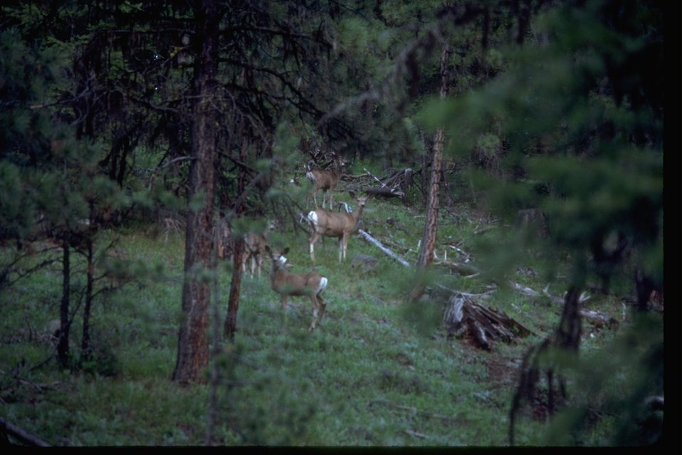 Deer in forest setting.