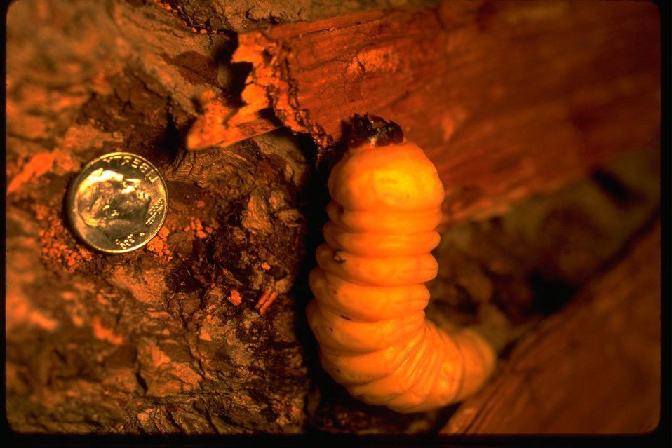 Bark Beetle larva and a dime.