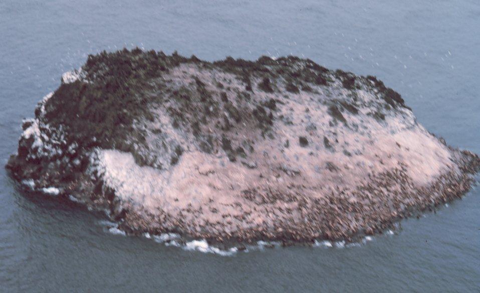 Walrus herd ? on island.