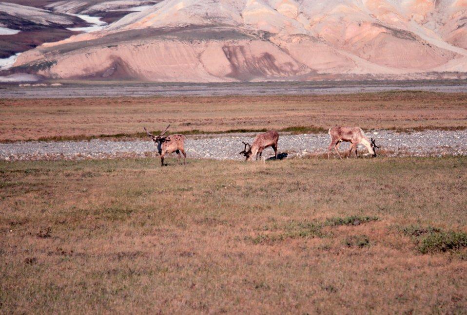 Caribou - Rangifer tarandus.