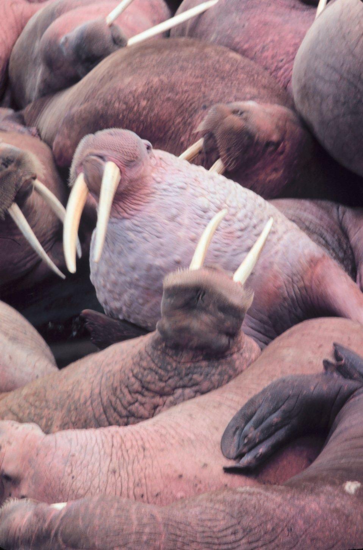 Walrus  - Odobenus rosmarus divergens - on Bering Sea island.