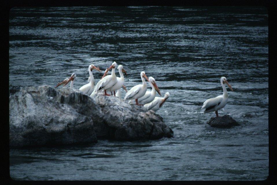 Pelicans on Snake River  Wildlife  USRD  Upper Snake River District