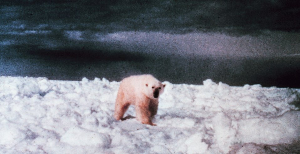 Polar bear  - Ursus maritimus - on the ice in the Beaufort Sea.