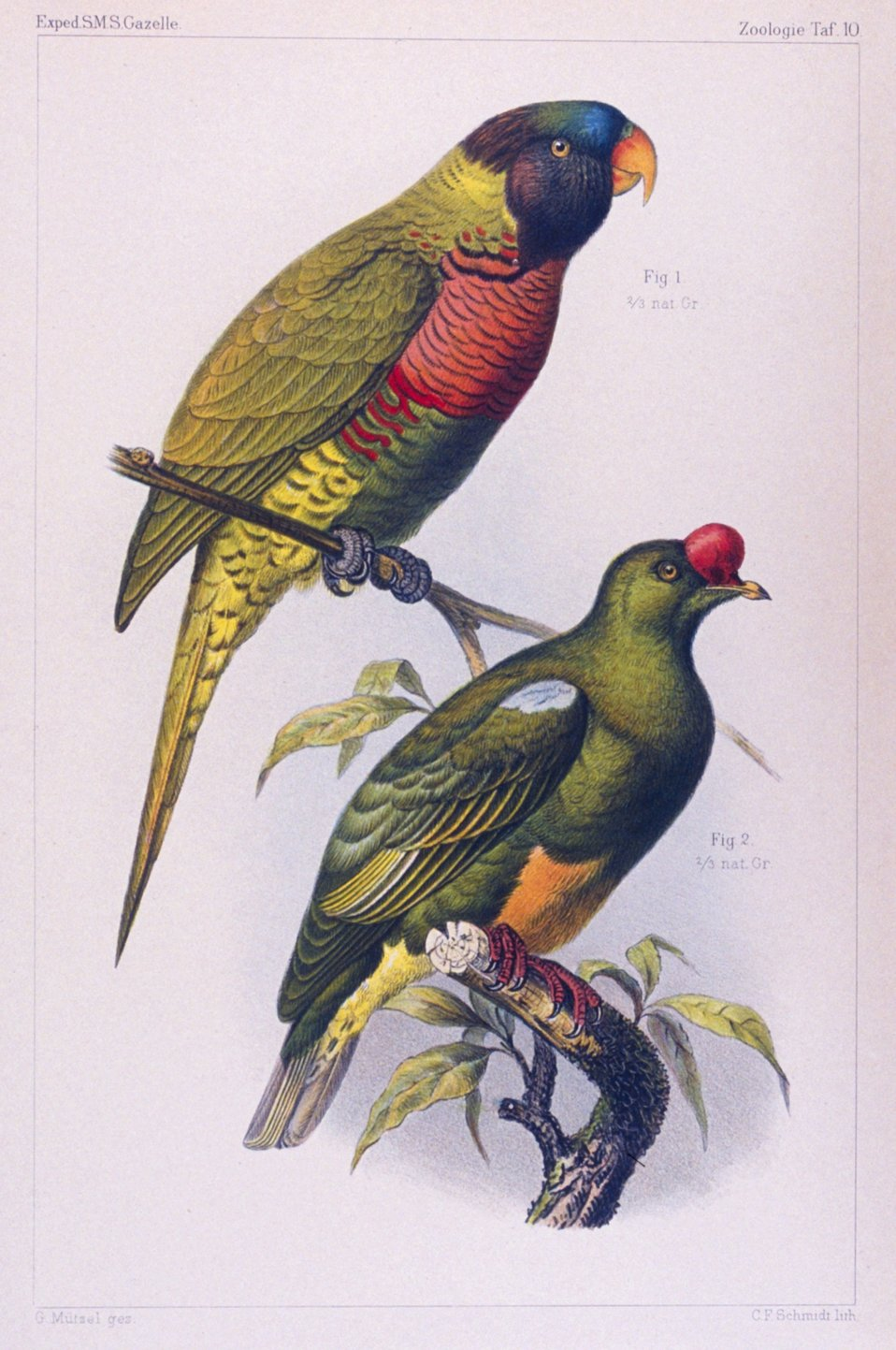 Water color of parrots seen during the voyage of the GAZELLE.