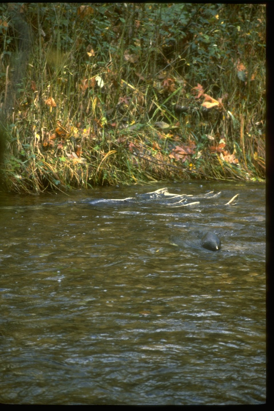 Chinnock Salmon swimming through Whitaker Creek