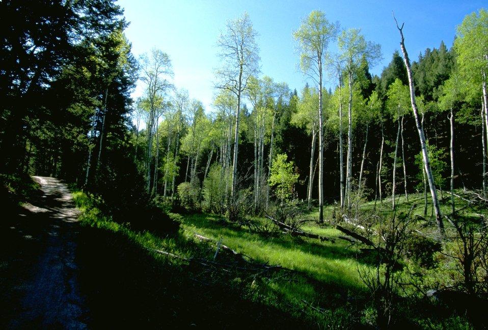 MacLean Road running through a dense grove of Aspen and fir trees