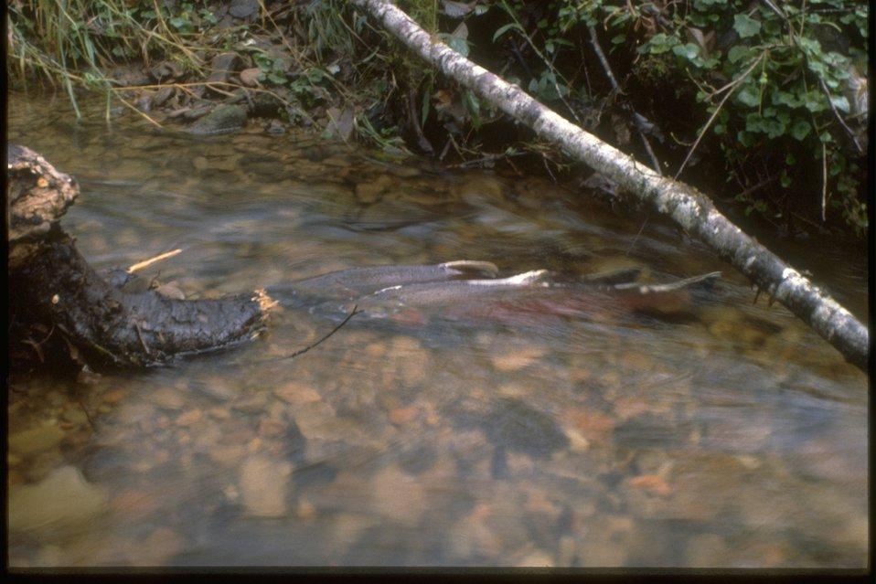 Coho Salmon swimming through Fish Creek.