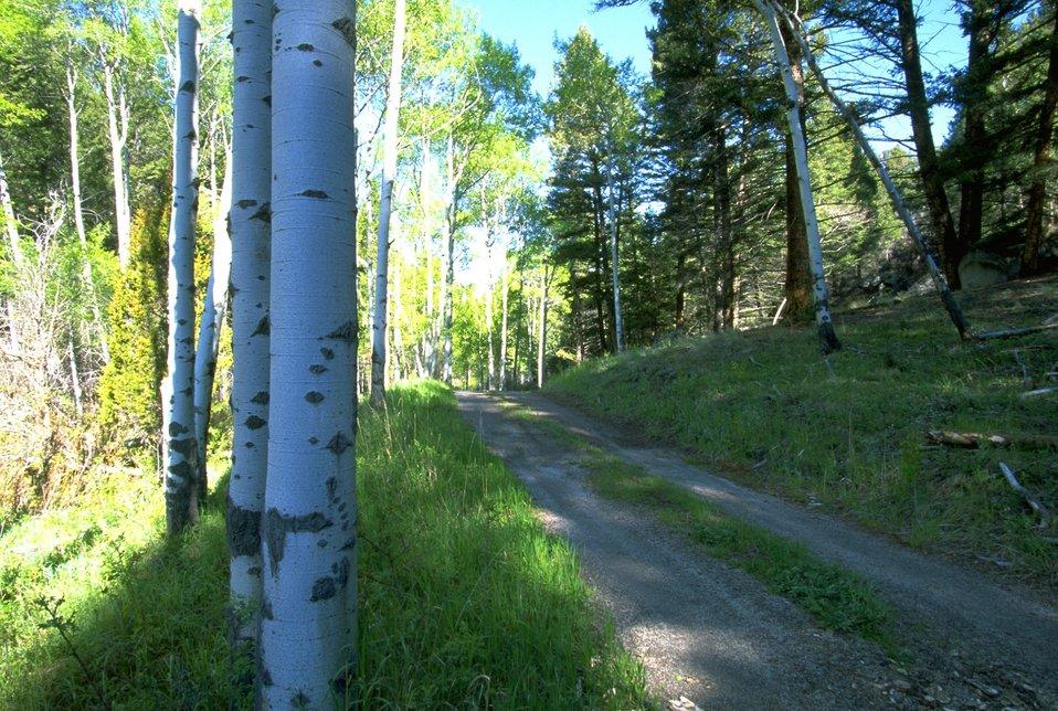Aspen trees alongside the MacLean Road