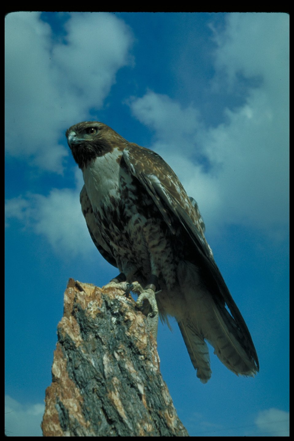 Red-Tailed Hawk  Birds of Prey National Conservation Area  BOP  Owyhee Field Office  LSRD  Lower Snake River District