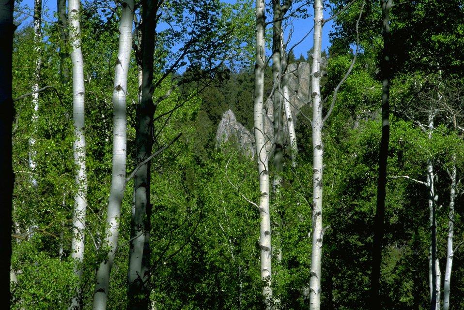Rock formation peeking through the dense Aspen trees