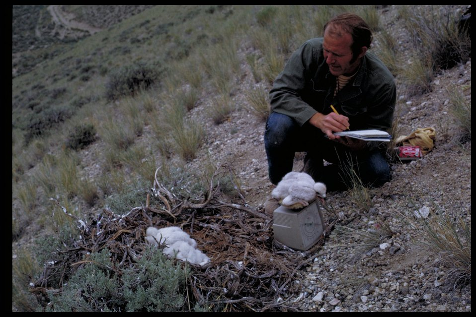 Examining chicks  Birds of Prey National Conservation Area  BOP  Owyhee Field Office  LSRD  Lower Snake River District