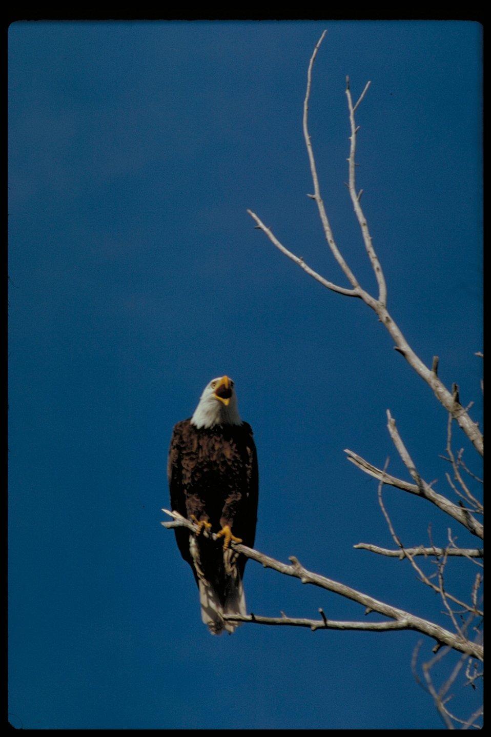 Bald Eagle in nest tree  BOP  Owyhee Field Office  LSRD  Lower Snake River District
