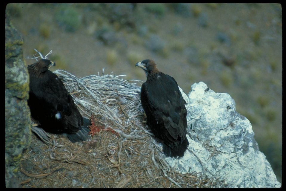 Eagles in nest  Birds of Prey National Conservation Area  BOP  Owyhee Field Office  LSRD  Lower Snake River District