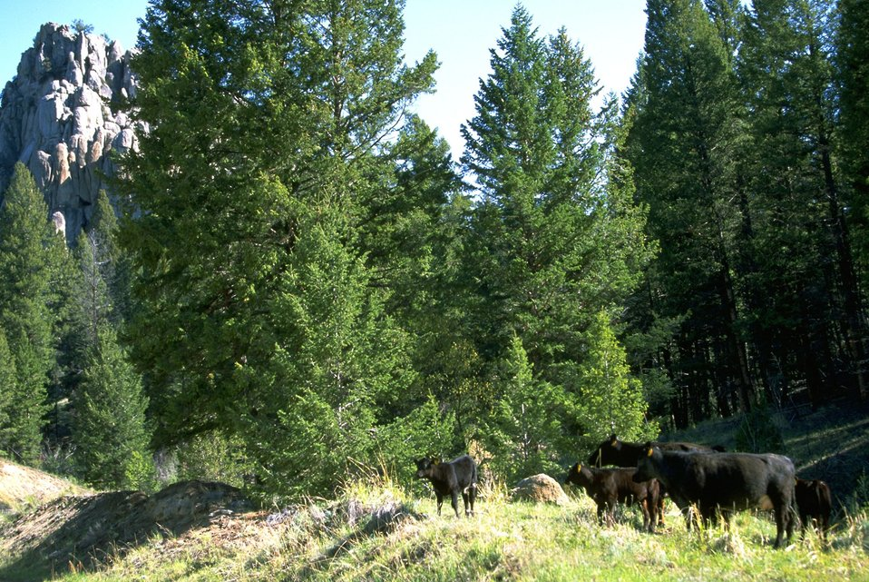 Black cows grazing below a rock formation and trees
