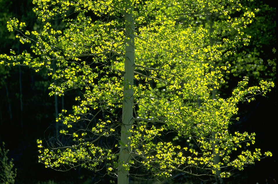 Sun shining on the leaves of an Aspen tree