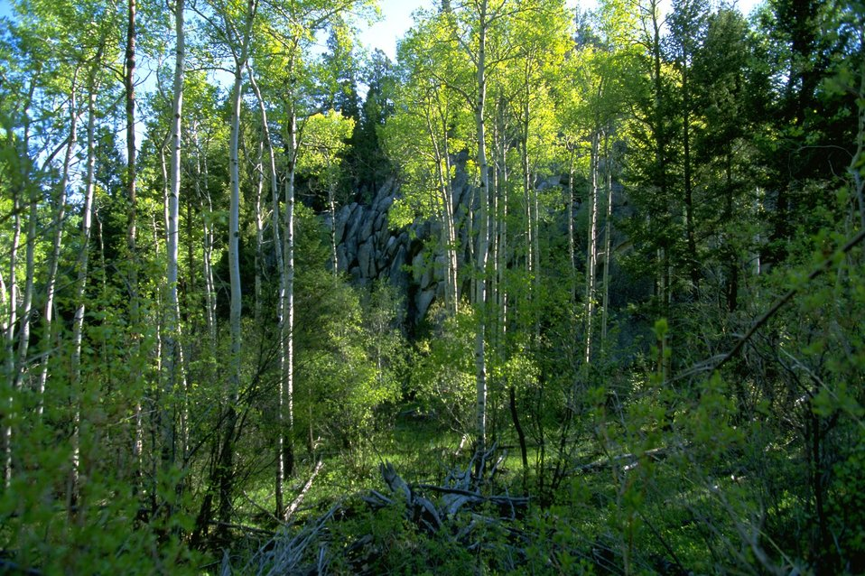 Forested area in the Humbug Spires Wilderness Study Area