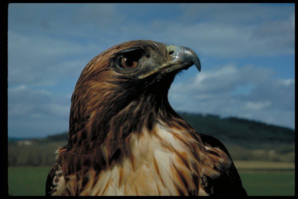 Red-tail Hawk  Birds of Prey National Conservation Area  BOP  Owyhee Field Office  LSRD  Lower Snake River District