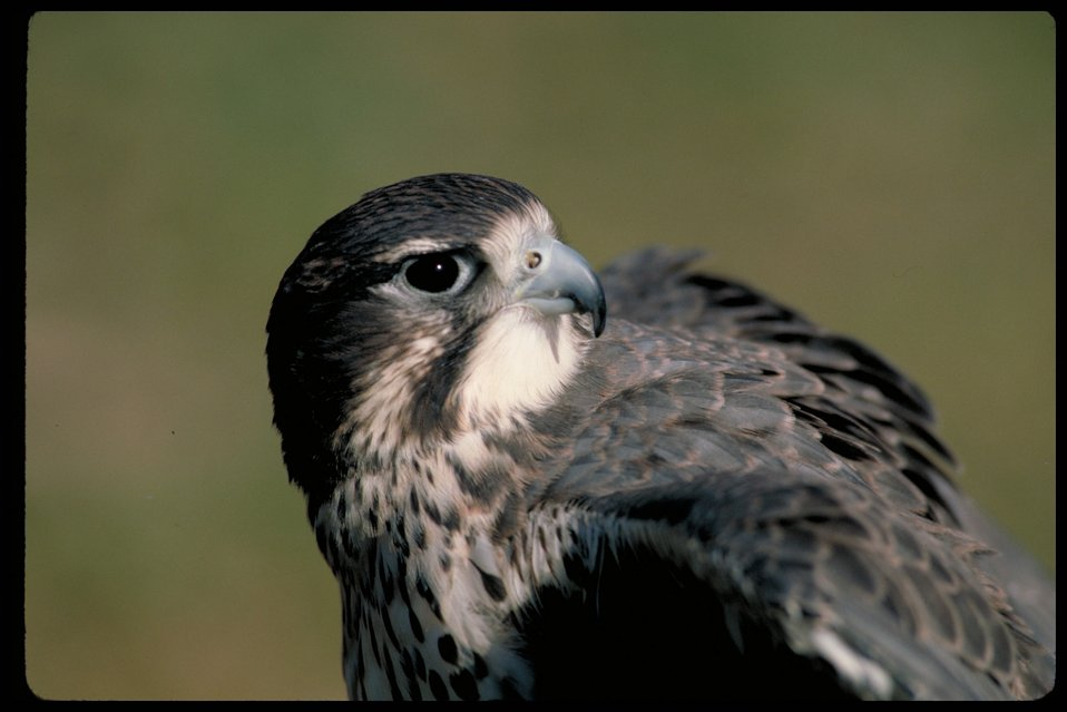 Peregrine Falcon  Birds of Prey National Conservation Area  BOP  Owyhee Field Office  LSRD  Lower Snake River District
