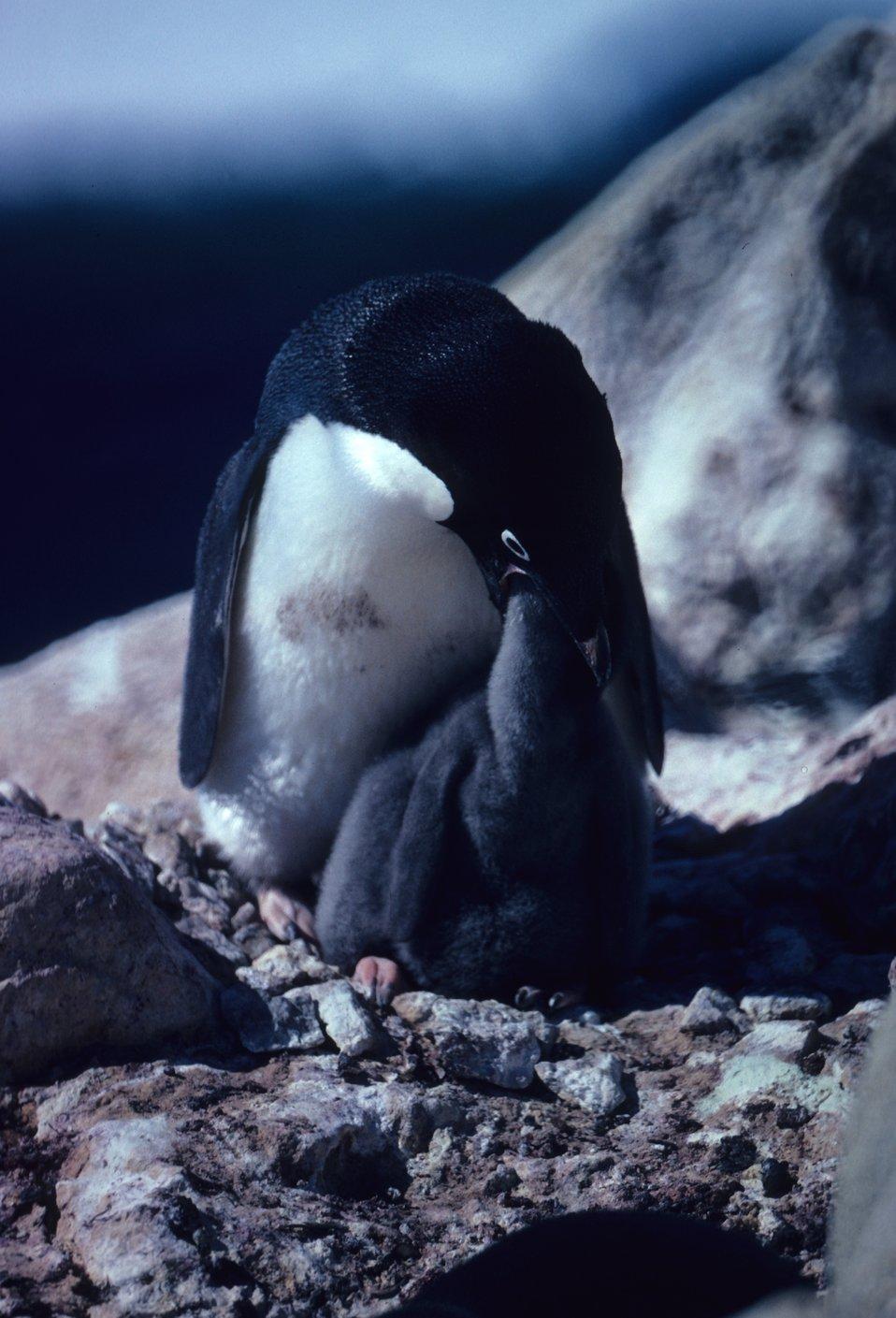 Adelie Penguin feeding chick.