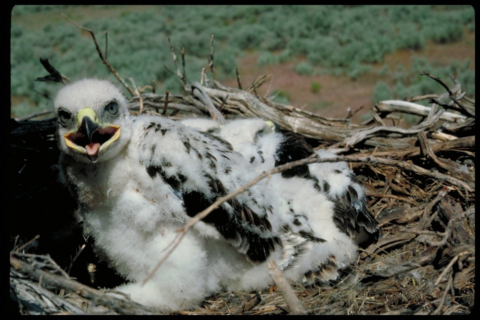 Chicks  Birds of Prey National Conservation Area  BOP  Owyhee Field Office  LSRD  Lower Snake River District
