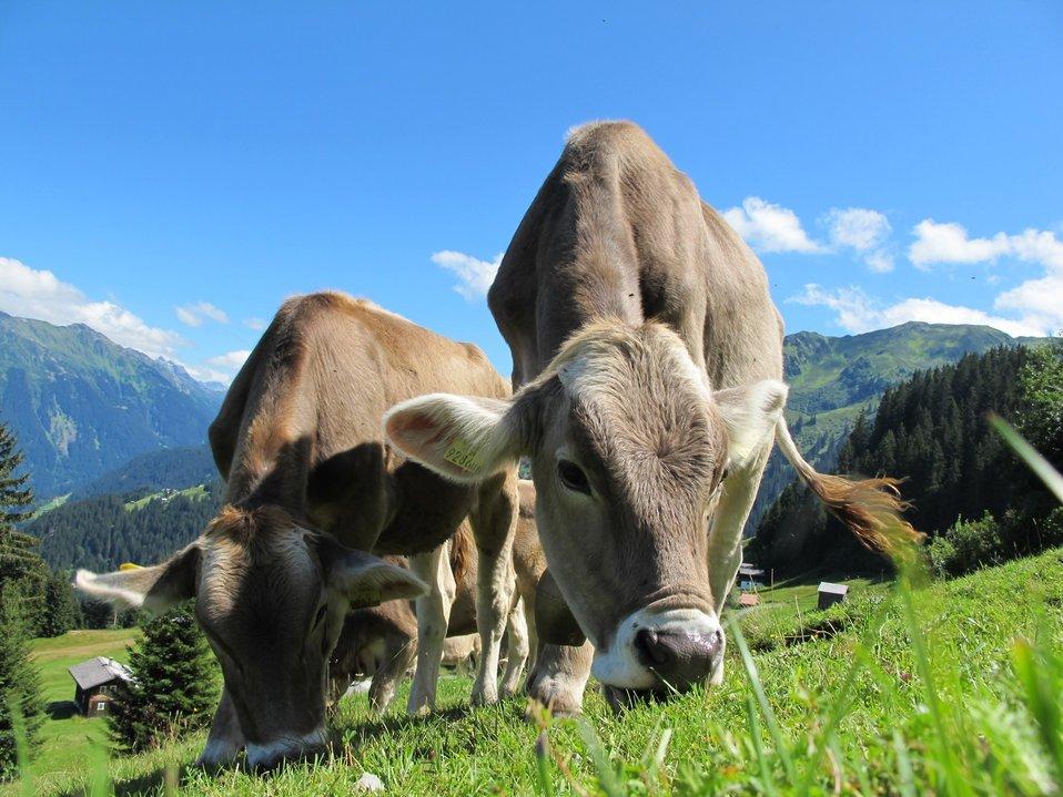 Cows cow pasture austria
