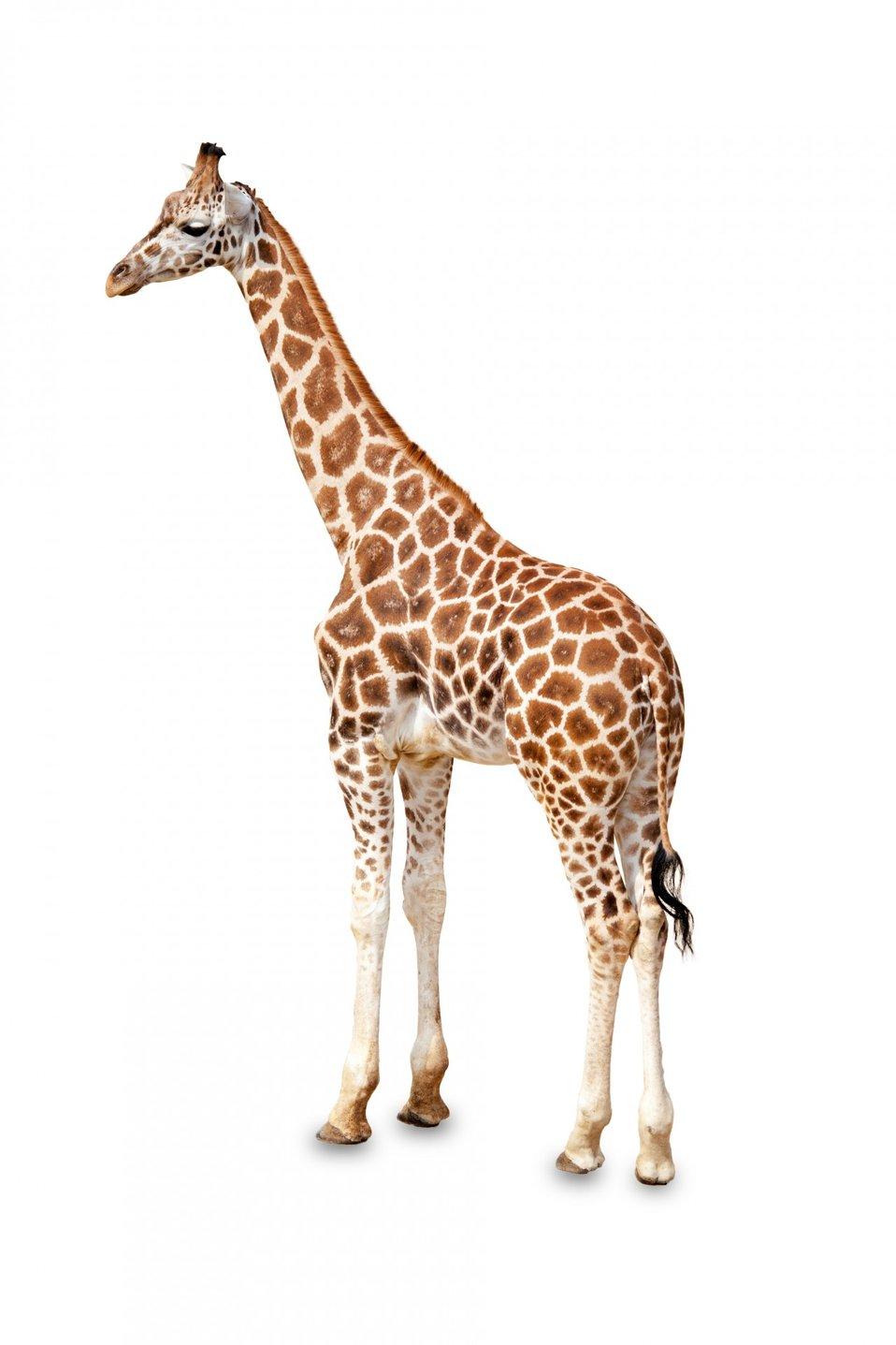 Giraffe standing isolated