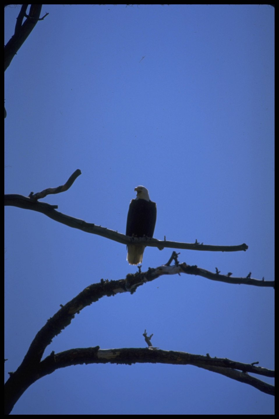 Farshot of Bald Eagle perched on tree branch. Lakeview District.
