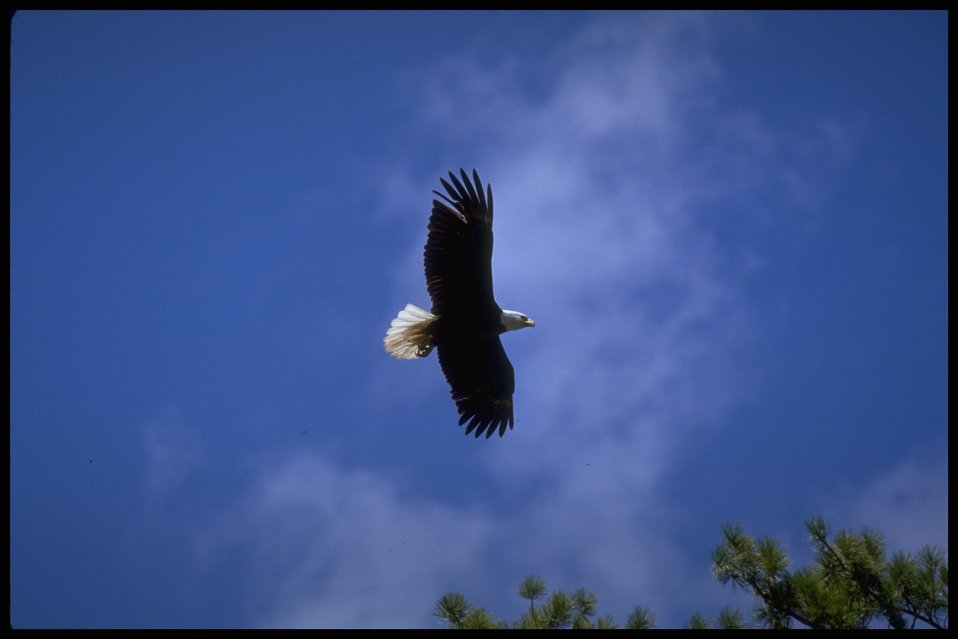 Far shot of Bald Eagle in flight. Lakeview District.