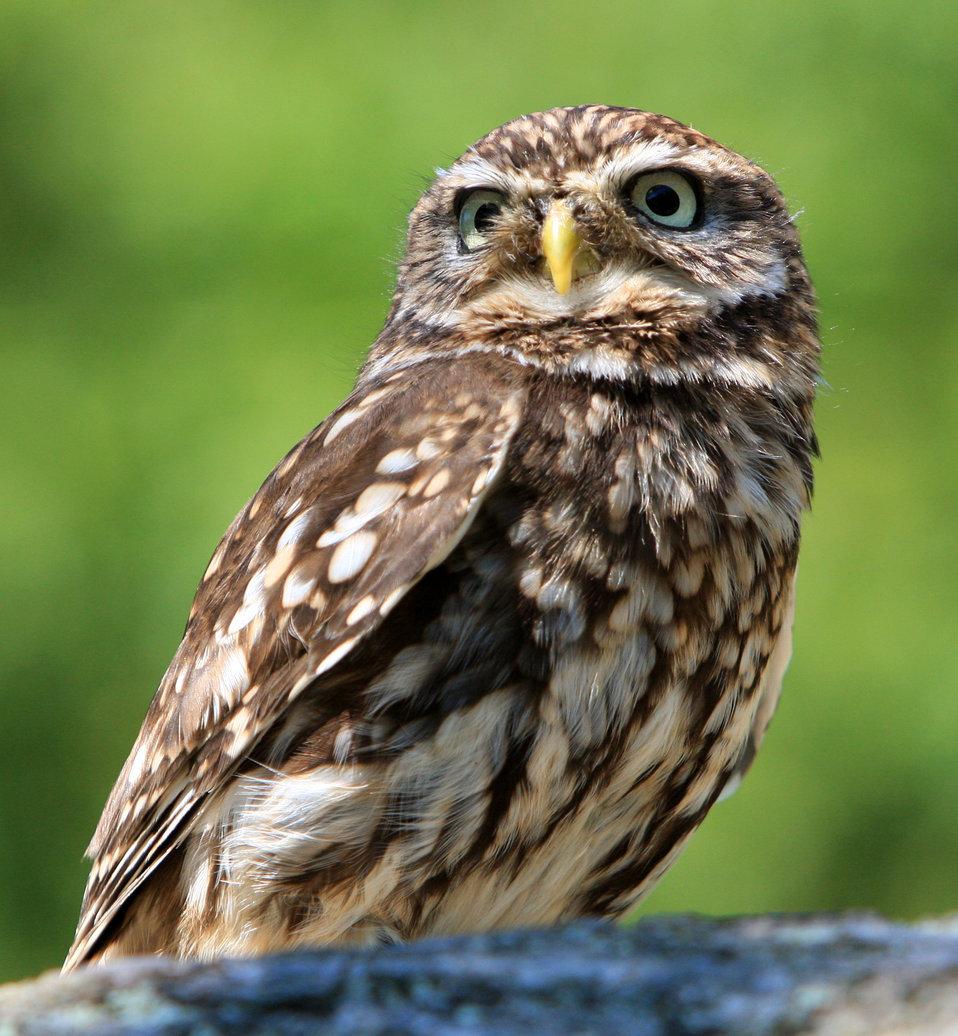 Little owl portrait