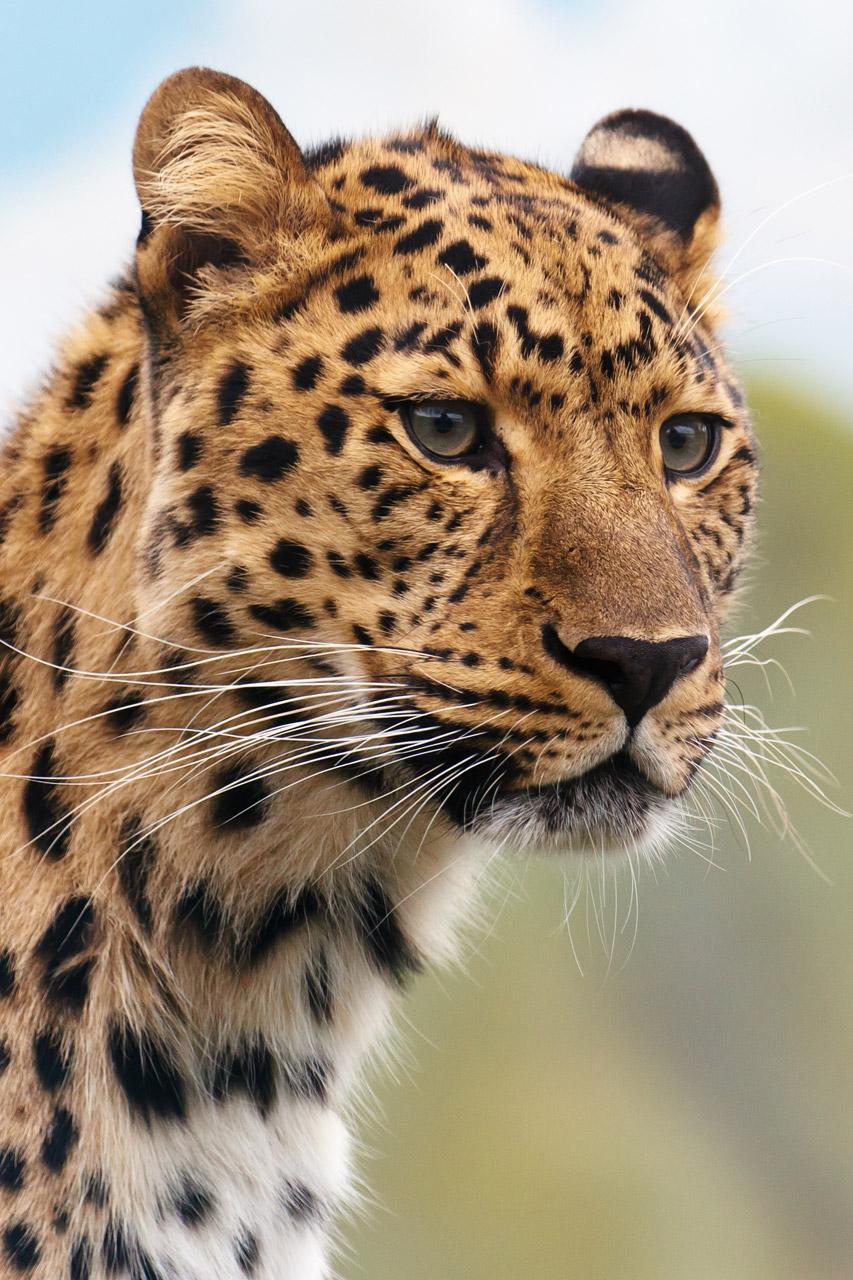 Leopard's head