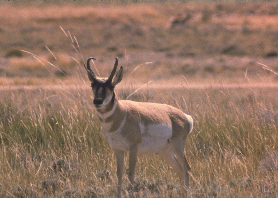 A buck Antelope.