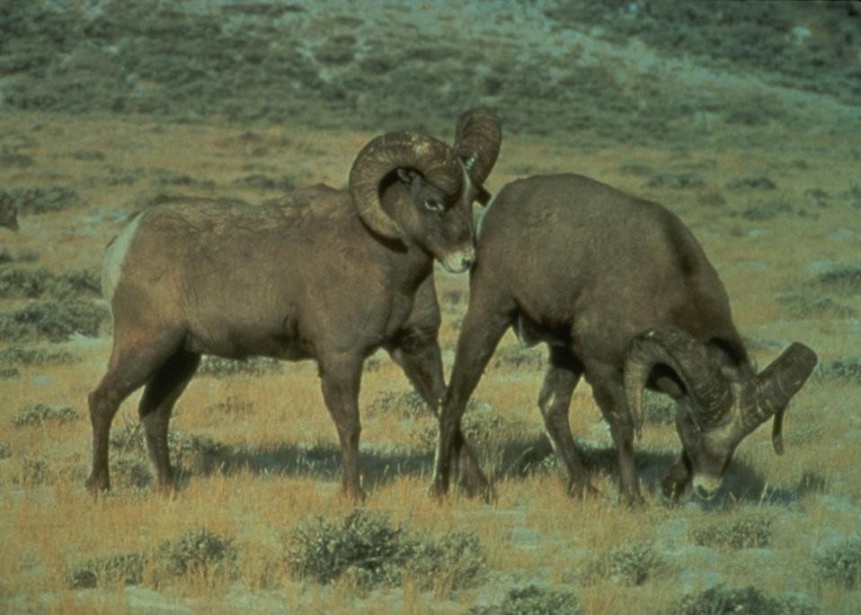 Big horn sheep engaging in play.