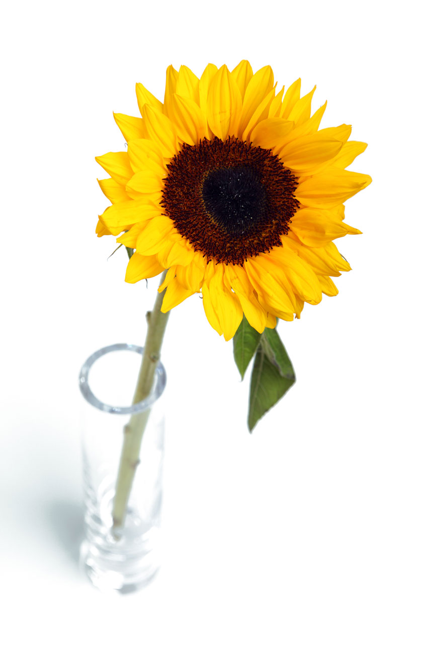 Public Domain Picture | Sunflower in vase | ID ...
