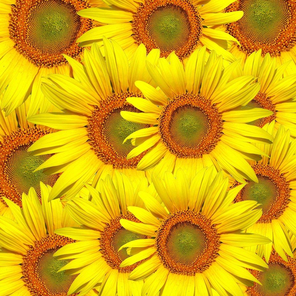 Sunflowers background wallpaper
