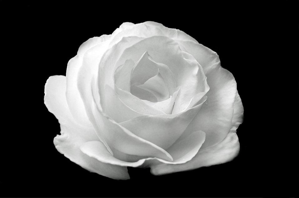 White rose on the black background