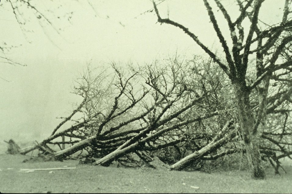 Uprooted trees caused not by a tornado but by a freak northeast gale bringing a great dust storm to Washington and Oregon. In: 'Monthly Weather Review,' May 1931, p. 198.