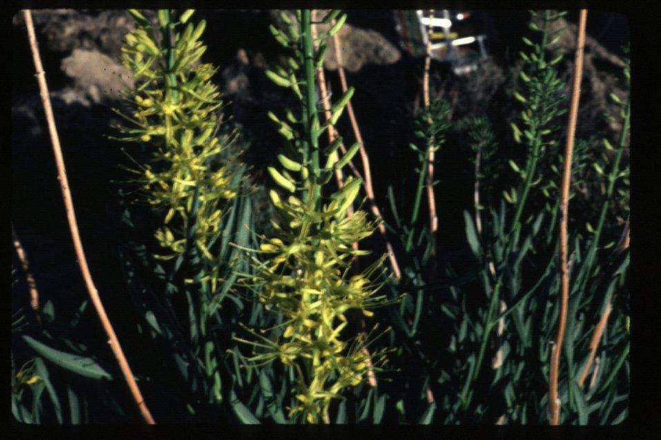 Princess plum  Stanleya pinnata  Brush, grasses  Wildflowers