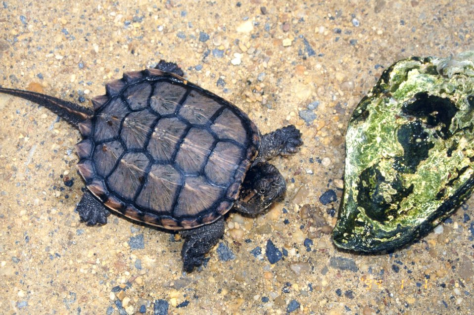 Young  Alligator Snapping Turtle,  Macroclemys temminckii.