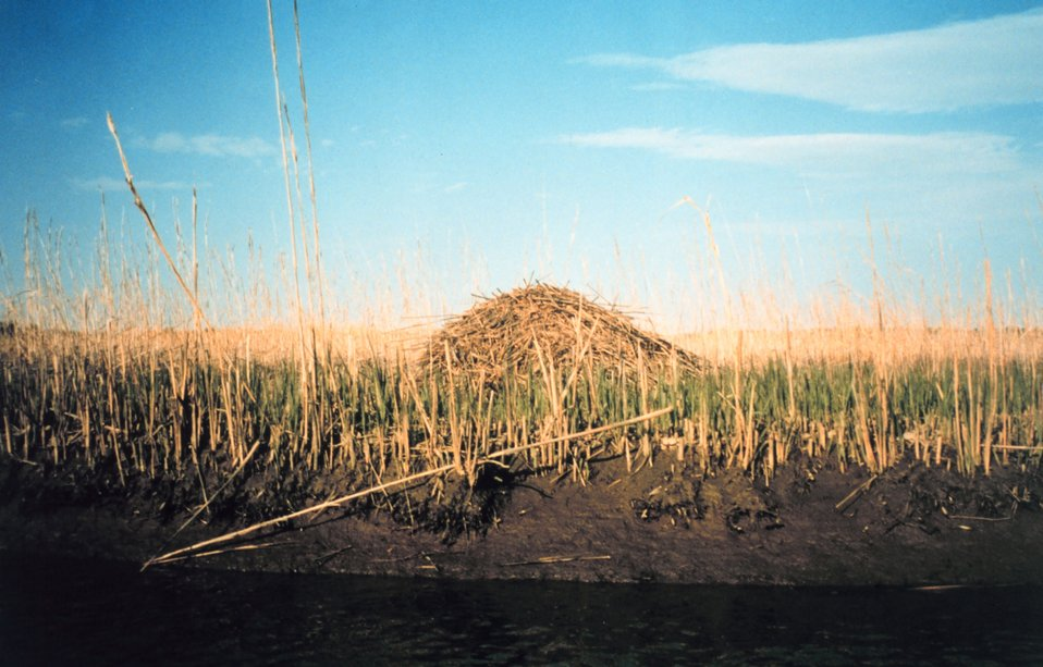A muskrat hut in a middle Patuxent river marsh.  Observed at a very low tide. Early in the year so marsh grasses aren't too tall yet.