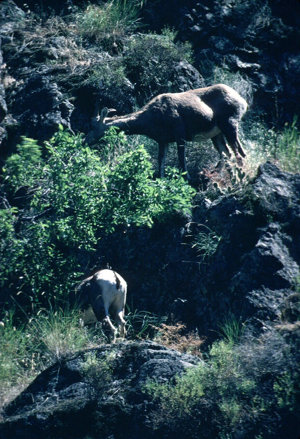 Bighorn sheep  UCSC  Upper Columbia Salmon Clearwater District