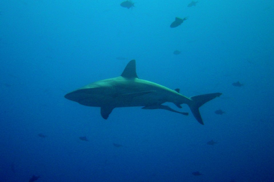 Large shark (Carcharinus sp.) with remora swimming below.